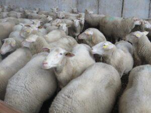 Ilustracija: farma ovaca, foto: Domaćinska kuča