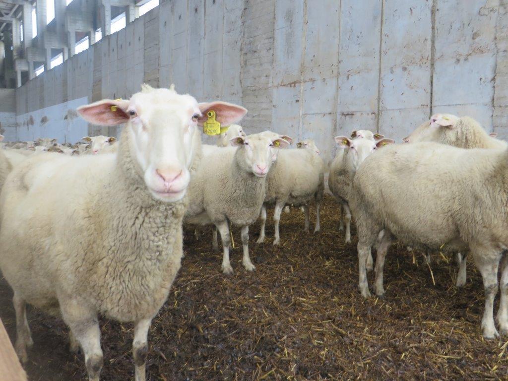 Ilustracija: Farma ovaca u Českoj