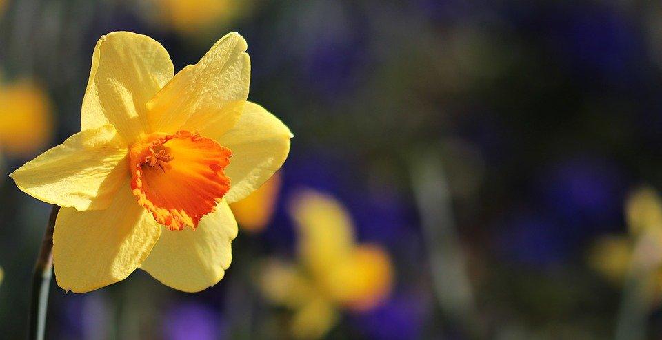 Ilustracija: Narcis, foto: pixabay
