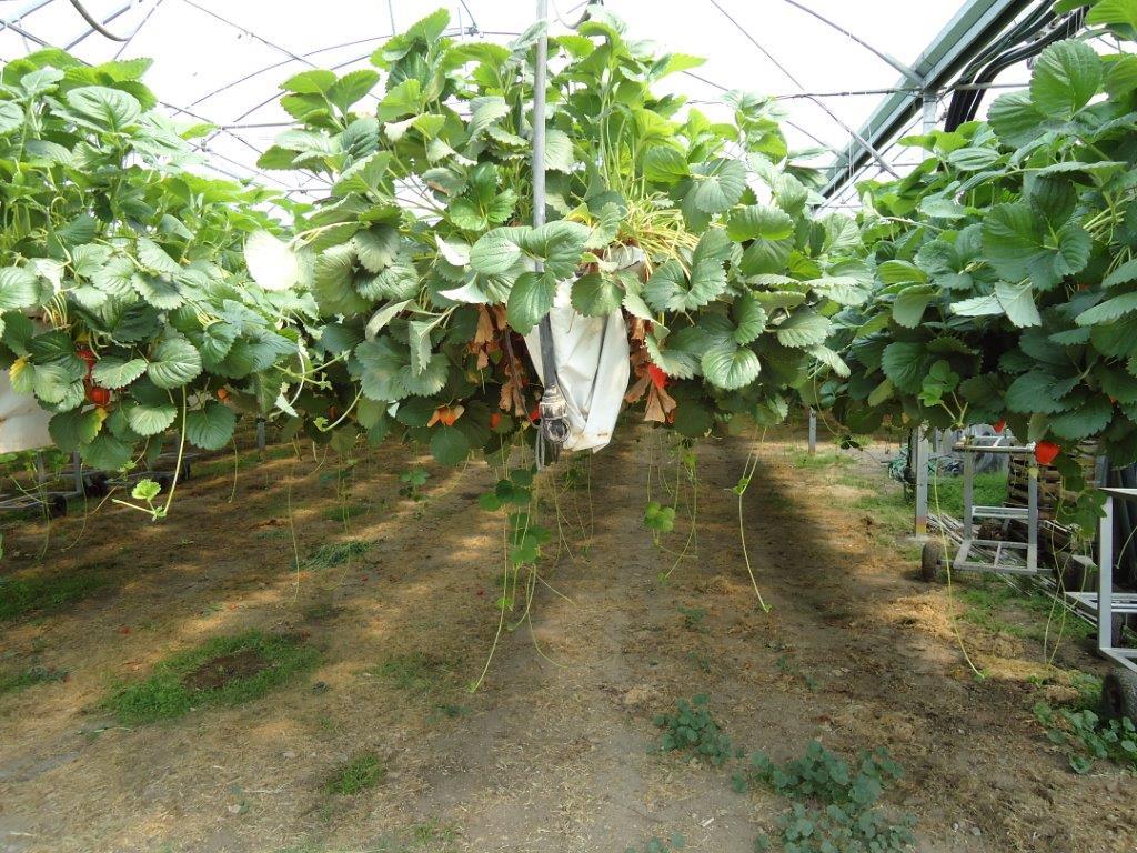 Ilustracija: jagode u plasteniku, foto: Domaćinska kuća