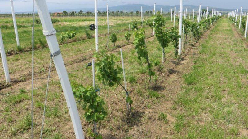 Gde podići vinograd