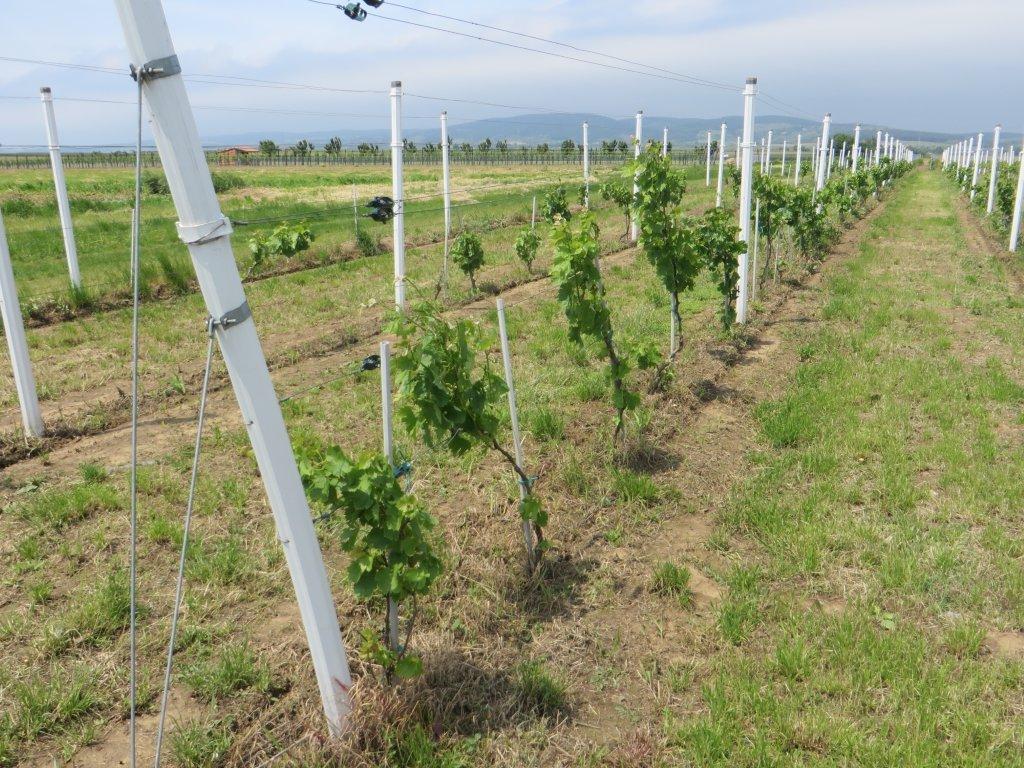 Ilustracija: vinograd, foto: Domačinska kuća