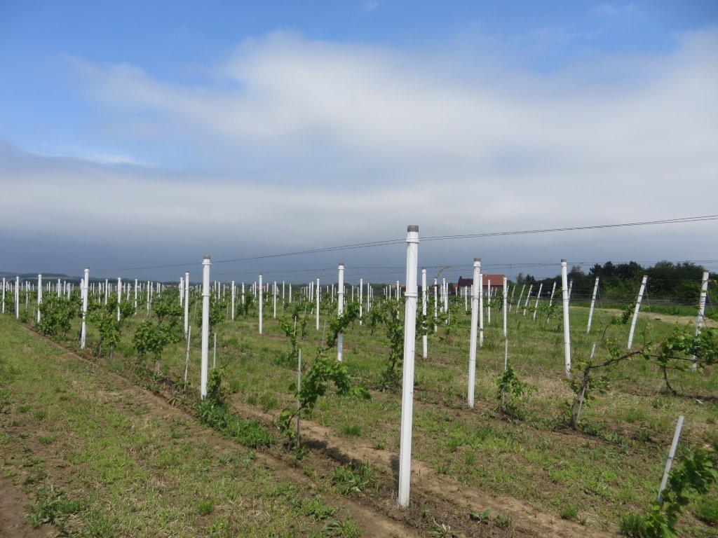 Ilustracija: Vinograd na Fruškoj gori, foto: Domaćinska kuća