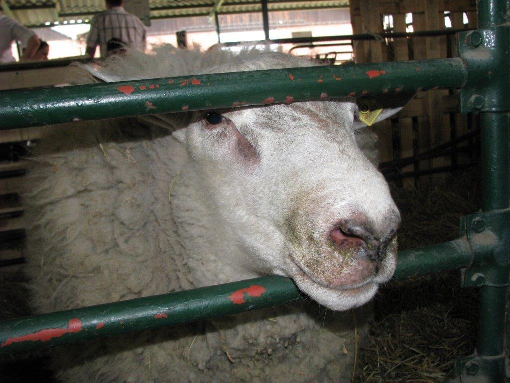 Ilustracija: ovce, foto: Svetlana Kovačević