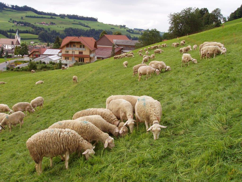 Ilustracija: ovce, foto: Goran Đaković