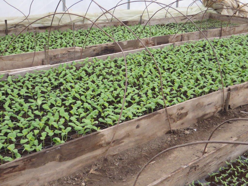 Ilustracija: rasad paprike, foto: Domaćinska kuća