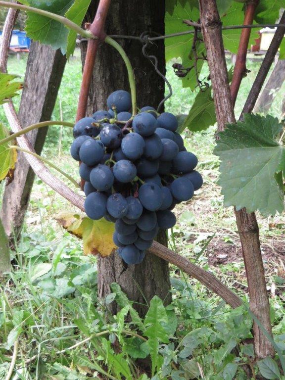 Ilustracija: stono crno grozdje , foto: Svetlana Kovačević