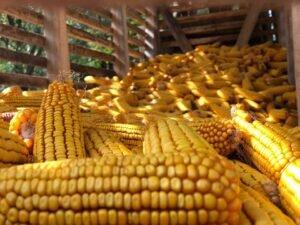 Ilustracija: Skladište kukuruza, foto: Marko Miladinović