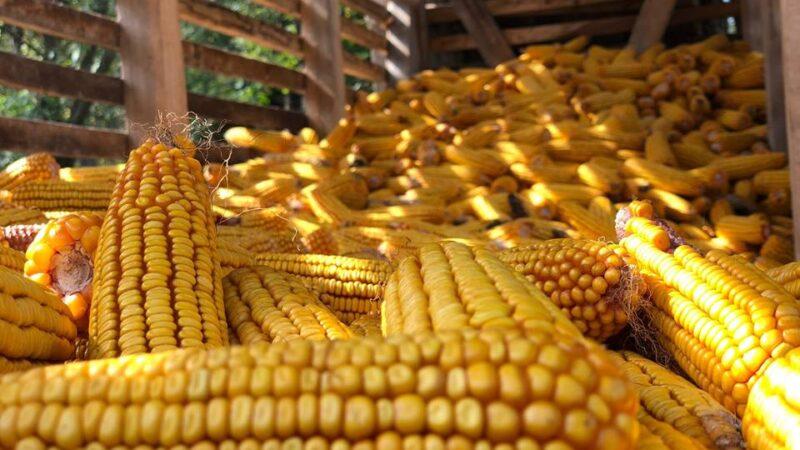 Zašto je dobro pregledati skladišta kukuruza