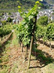 Ilustracija: vinograd u Nemačkoj, foto: Domaćinska kuća