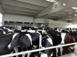 Ilustracija; farma krava, foto: Domačinska kuća