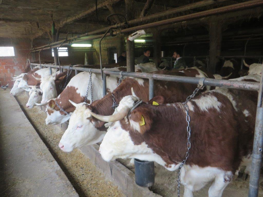 Ilustracija: Farma krava, foto. Domaćinska kuća