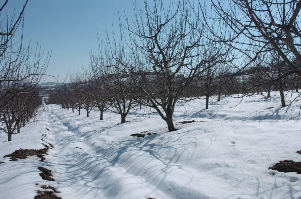Ilustracija: voćnjak zimi, foto: Svetlana Kovačević