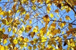 Ilustracija: breza, foto: pixabay
