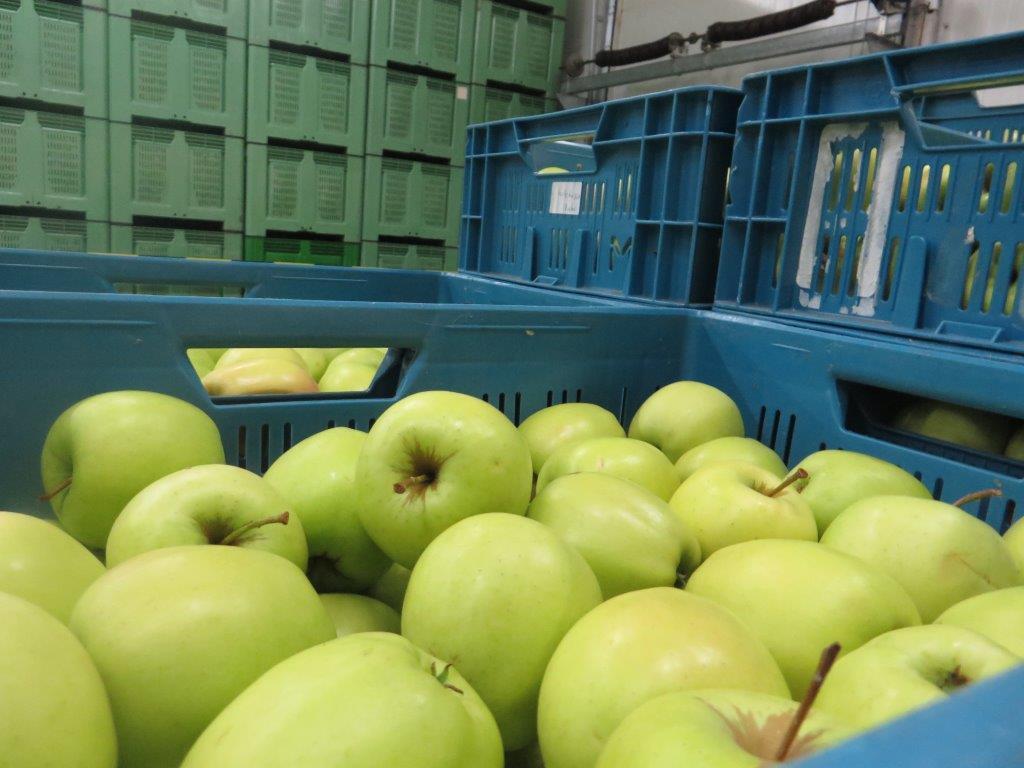Ilustracija: jabuke, foto: Svetlana Kovačavić