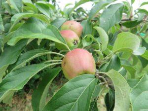 Ilustracija: Jabuke, foto: Domačinska kuča
