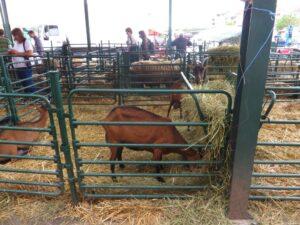 Ilustracija: koze, foto: Domaćinska kuća