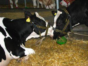 Ilustracija: farma krava, foto: Domaćinska kuća
