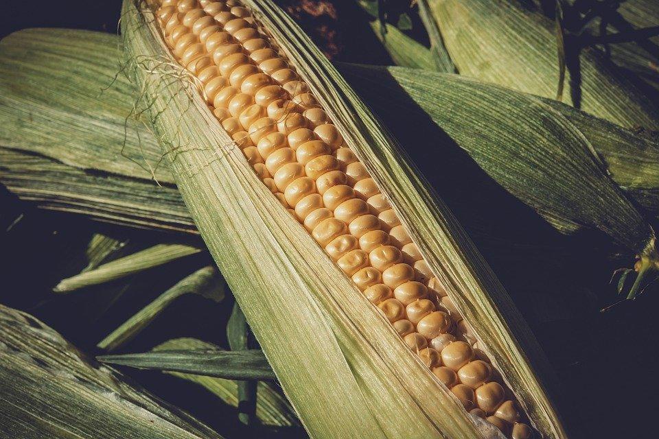 Ilustracija kukuruza, fotografija preuzeta sa sajta pixabay.com / autor: Ilona