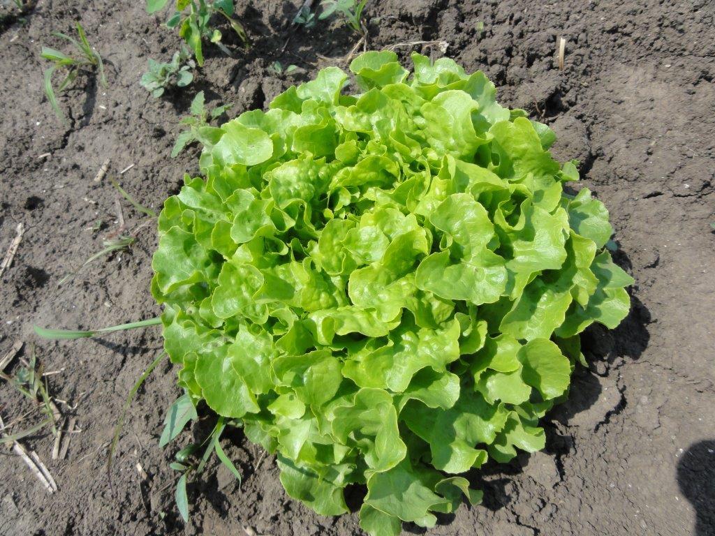 Ilustracija: zelena salata, foto: Domaćinska kuća