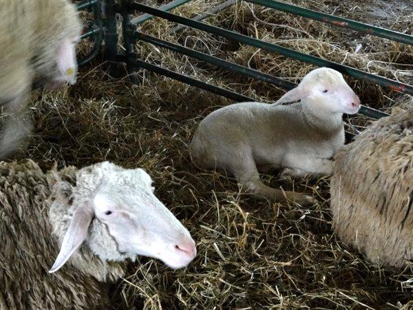 Ilustracija: farma ovaca, foto: Domaćinska kuća