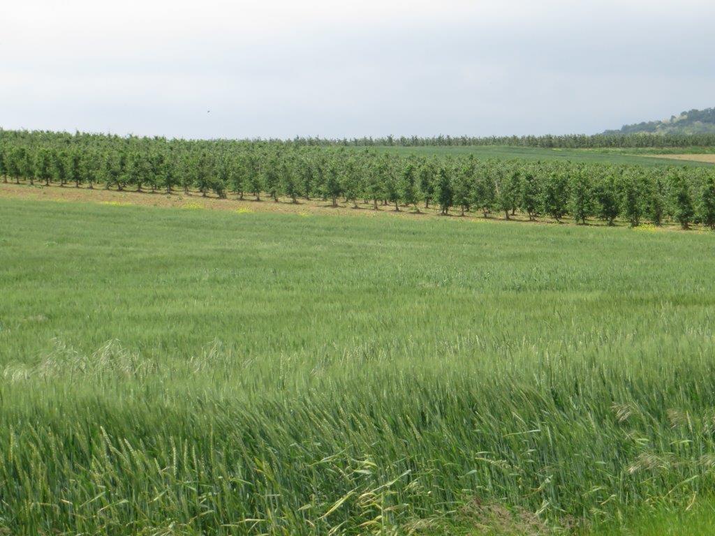 Ilustracija: pšenica, foto: Domaćinska kuća