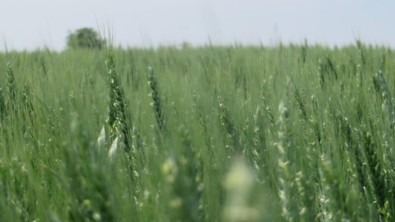 Zašto je pšenica podbacila