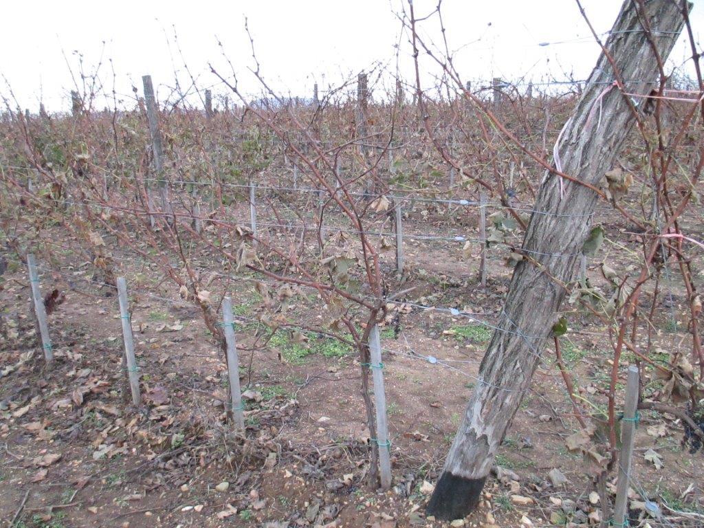 Ilustracija: vinograd, foto:Svetlana Kovačević