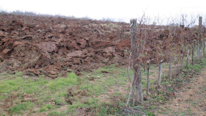 Šta raditi posle berbe grožđa u vinogradu