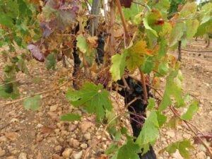 Ilustracija: Vinograd u jesen, foto: Svetlana Kovačević