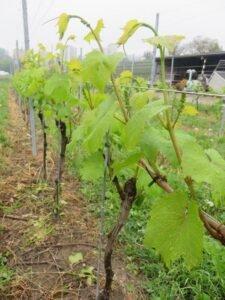 Ilustracija: vinograd, foto: Domaćinska kuća
