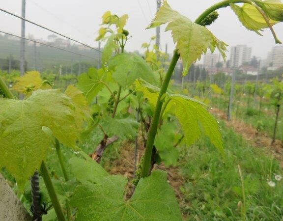 Kad je vreme za podizanje vinograda