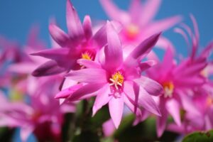 Ilustracija: Bođićni kaktus, foto: Pixabay