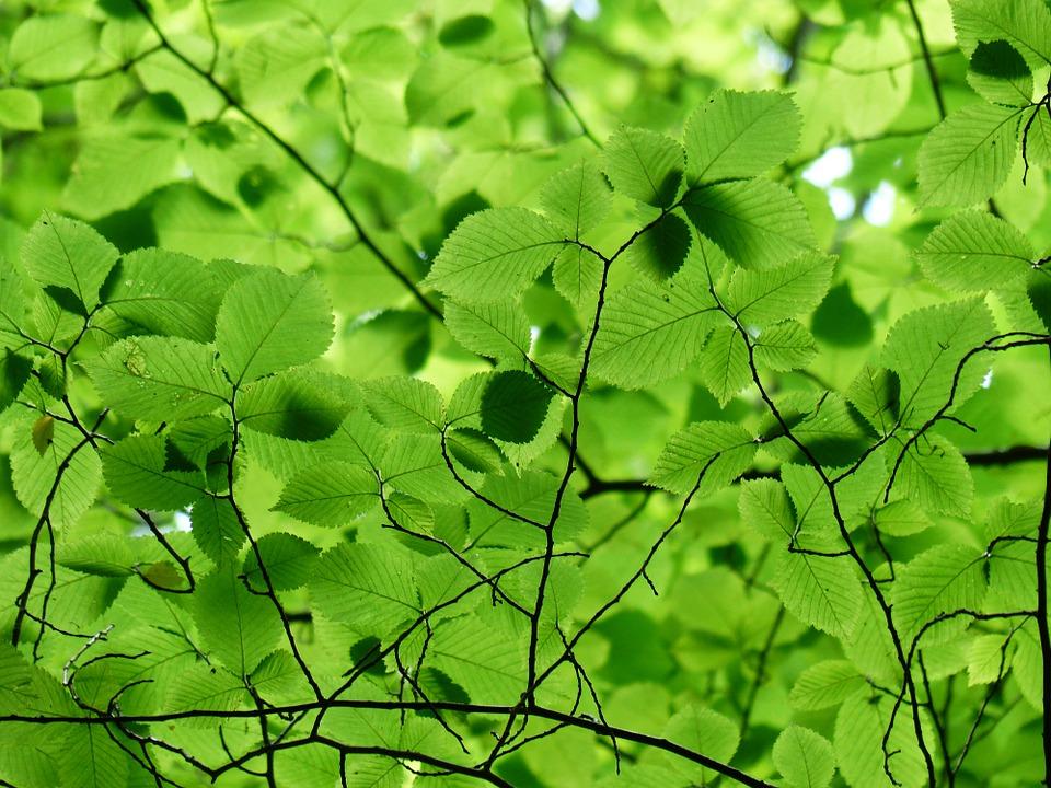Ilustracija: listovi breze, foto: pixabay