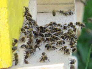 Ilustracija: pčele. foto: Svetlana Kovačević