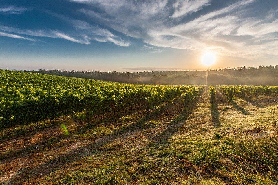Ilustracija: vinograd, foto: pixabay