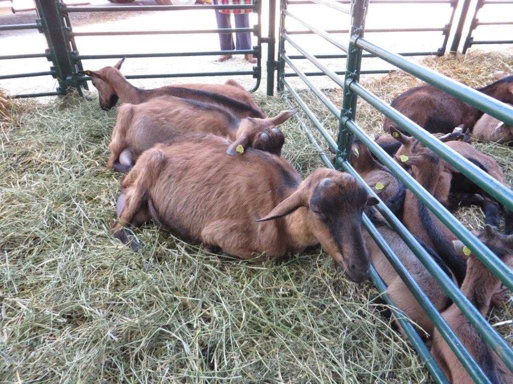 Ilustracija: koze, foto: Svetlana Kovačević, Domaćinska kuća