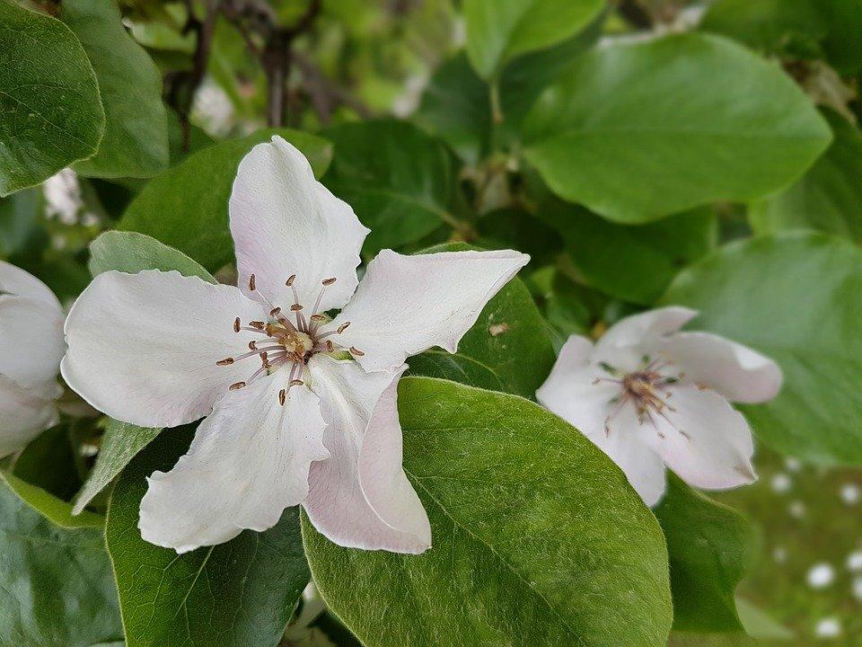 Cvet dunje, foto ilustracija. Fotografija preuzeta sa sajta pixabay.com / autor: Monika Smigielska, Polski