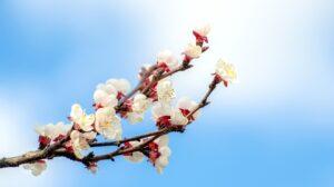 Ilustracija: cvet kajsije, foto: pixabay