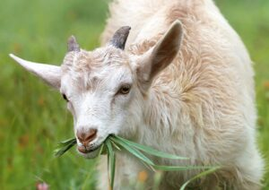 Ilustracija, fotografija koze preuzeta sa sajta pixabay.com / autor: svklimkin