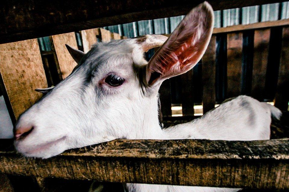 Ilustracija koze, fotografija preuzeta sa sajta pixabay.com / autor: Ampari Jacob