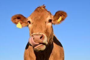 Ilustracija, krava, fotografija preuzeta sa sajta pixabay.com / autor: U. Leone