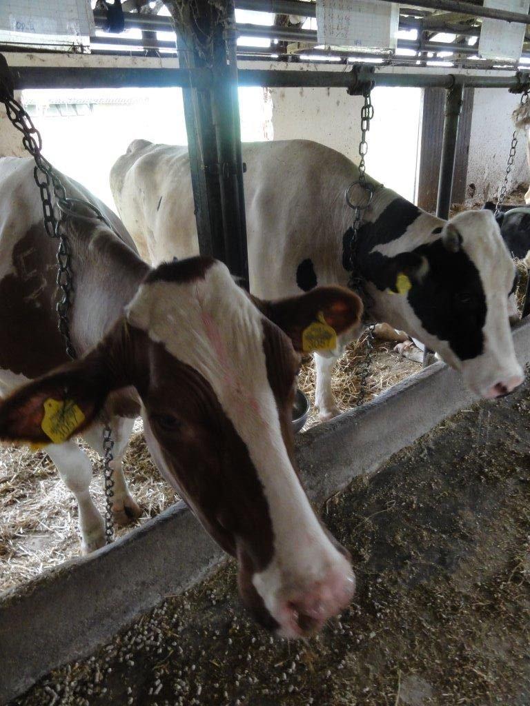 Ilustracija: krave, foto: Svetlana Kovačević, Domaćinska kuća
