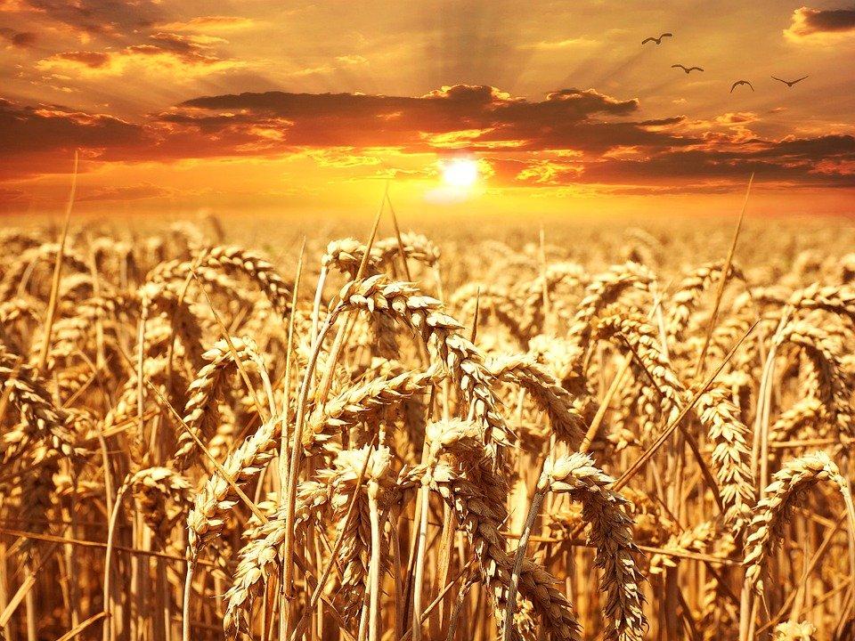 Ilustracija pšenice, fotografija preuzeta sa sajta pixabay.com / Foto: Petra