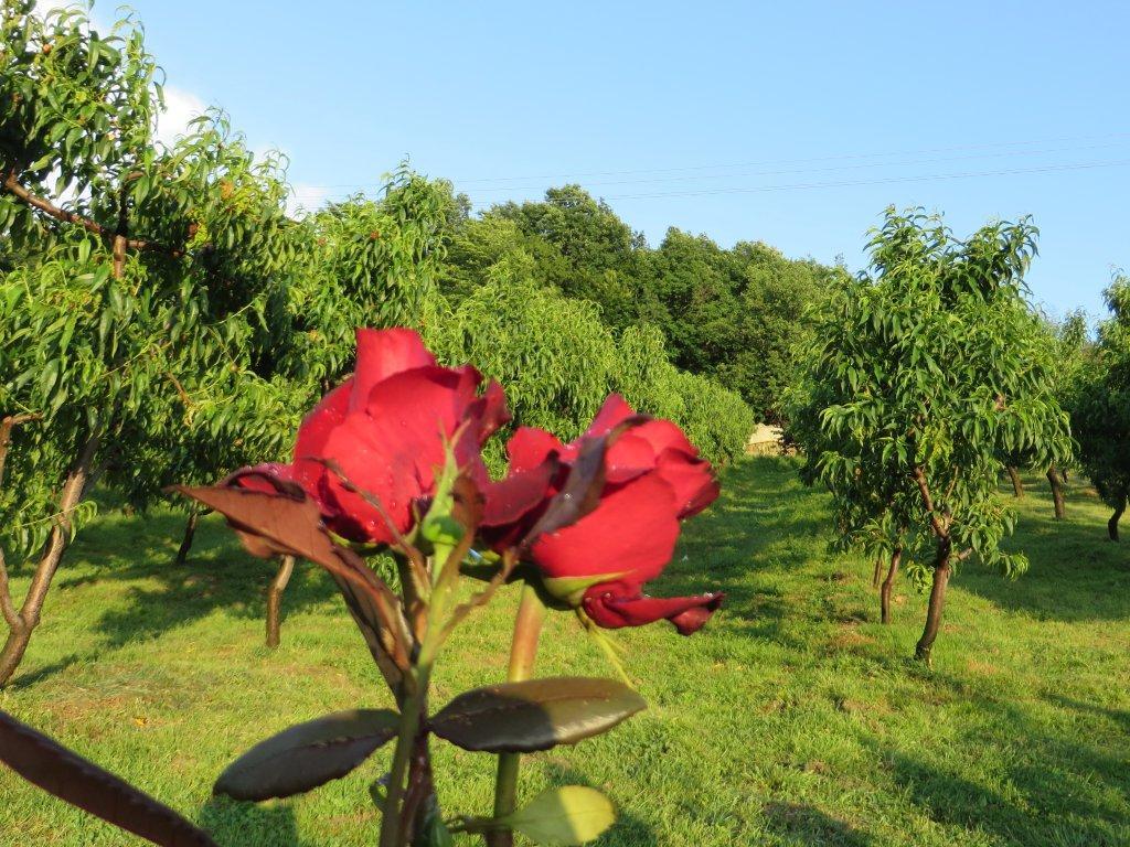 Ilustracija: Ruže, foto: Svetlana Kovačević, Domaćinska kuća