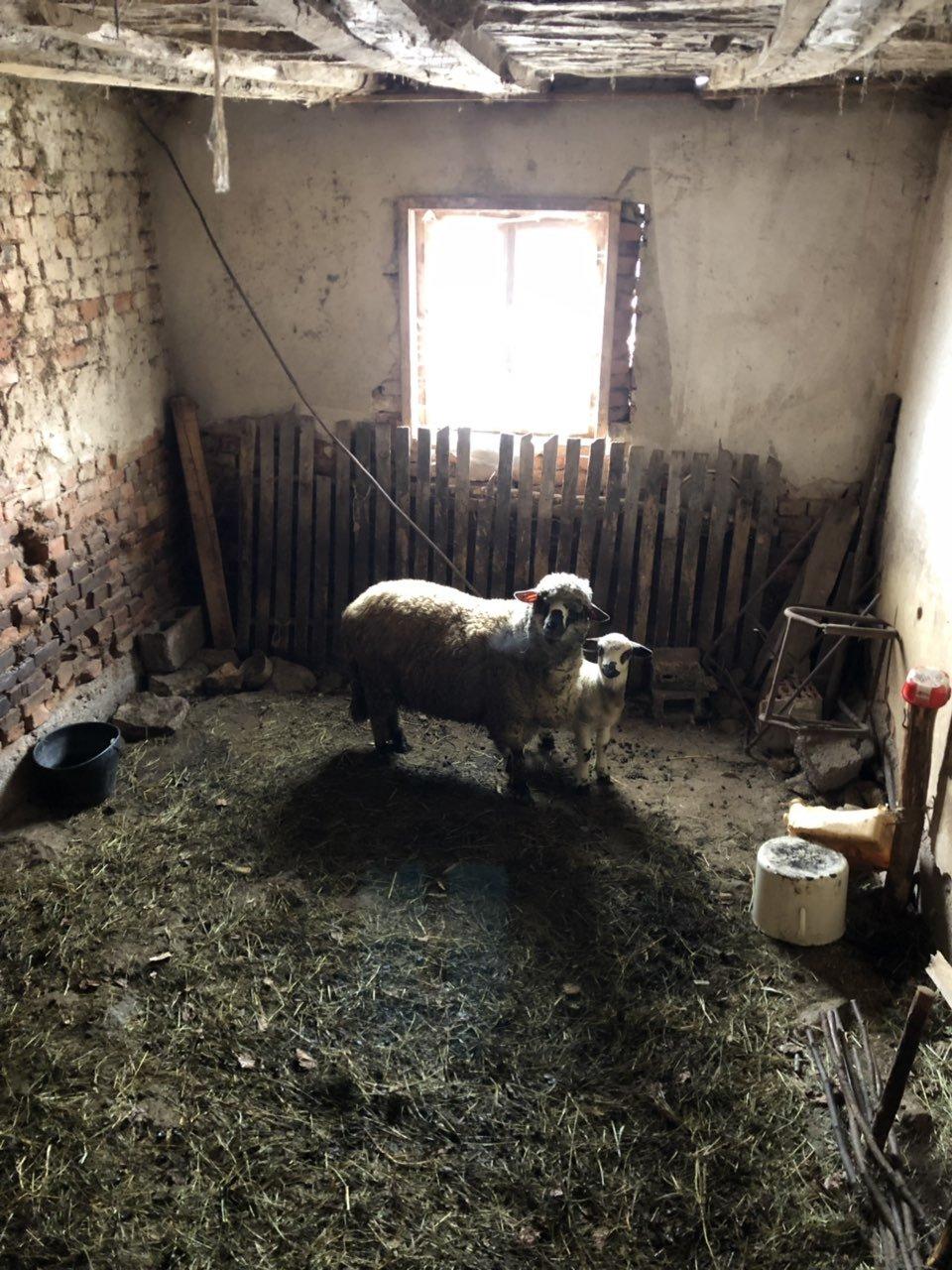 Ovca, ilustracija, fotografija: Marko Miladinović, Domaćinska kuća