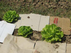 Ilustracija: zelena salata, foto: Svrtlana Kovačevič, Domaćinska kuća