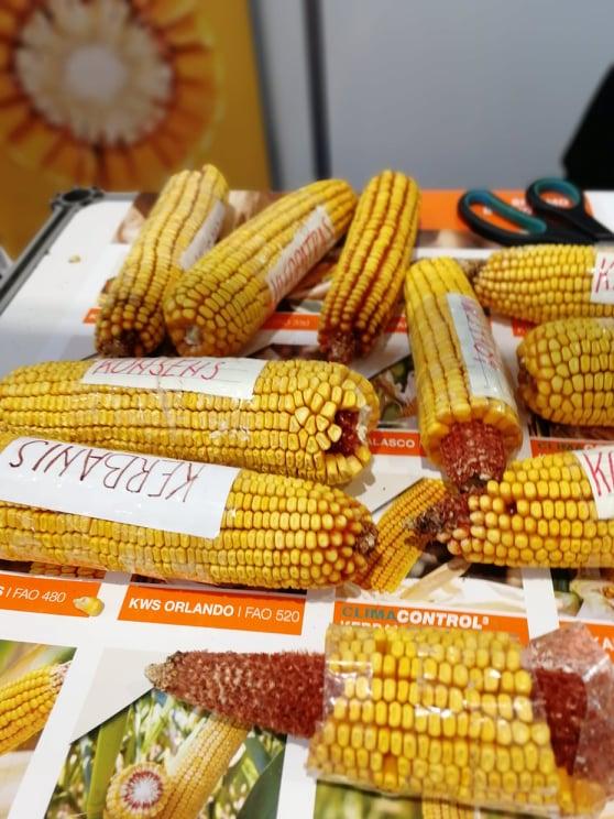 Ilustracija: kukuruz, foto: Svetlana Kovačević, Domaćinska kuća