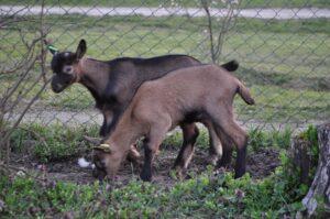 Ilustracija; srpska koza, foto: Sa sajta srpska koza