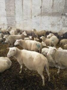 Ilustracija: ovce, foto: Svetlana Kovačevič, Domačinska kuća